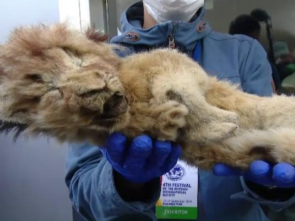Doi pui de leu mumificaţi, expuşi în centrul Moscovei