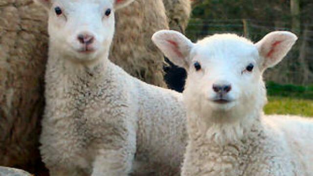 Berbecul german, solutia salvatoare pentru ciobanii romani