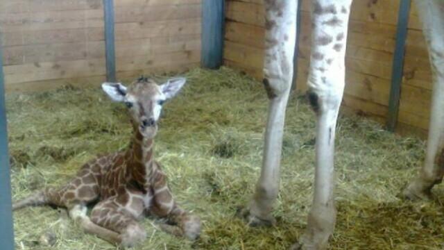 Puiul de girafa