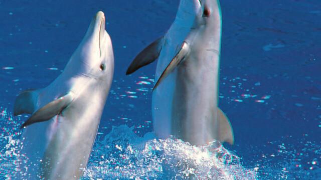 Delfinii nu mai sunt prada usoara in plasa braconierilor. Ce solutie au gasit cercetatorii romani