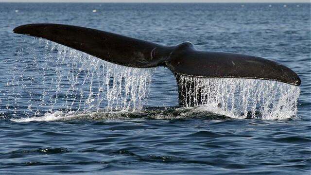 Salvare de proportii. 80 de balene au esuat pe un tarm din Noua Zeelanda
