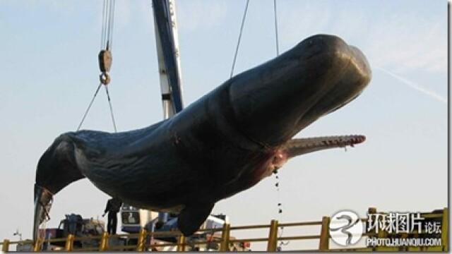 Noi fotografii cu balena de 50 de tone care a explodat in mijlocul orasului. Instantanee incredibile - Imaginea 1