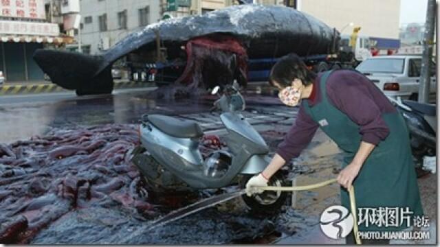 Noi fotografii cu balena de 50 de tone care a explodat in mijlocul orasului. Instantanee incredibile - Imaginea 3