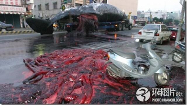 Noi fotografii cu balena de 50 de tone care a explodat in mijlocul orasului. Instantanee incredibile - Imaginea 6