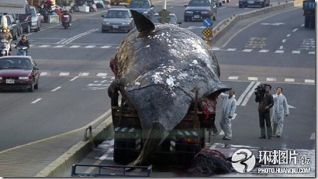 Noi fotografii cu balena de 50 de tone care a explodat in mijlocul orasului. Instantanee incredibile - Imaginea 8
