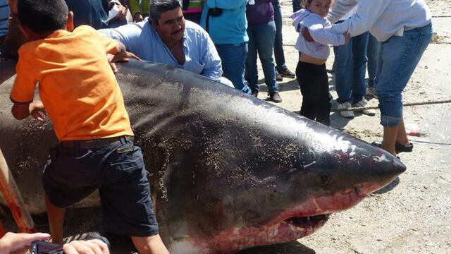 rechin urias