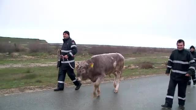 Peripetiile vitelului \