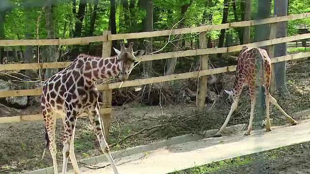 girafe zoo Targu-Mures
