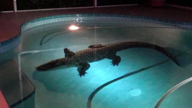 Un aligator s-a scăldat în piscina unor americani. Reptila a fost scoasă de un specialist