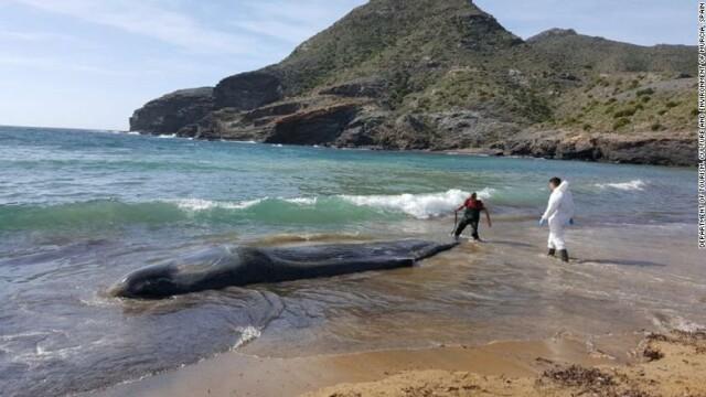 """Descoperirea îngrijorătoare făcută în stomacul unei balene moarte, în Spania: """"O amenințare uriașă"""""""