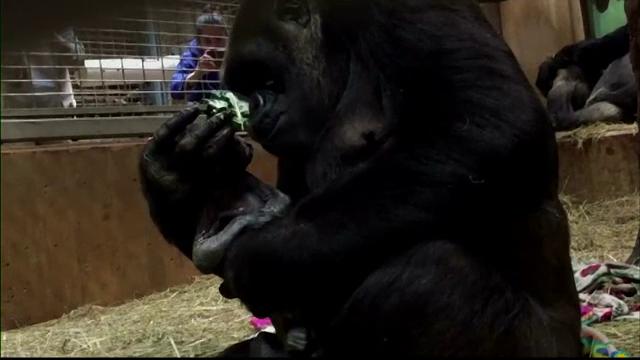 gorila pui