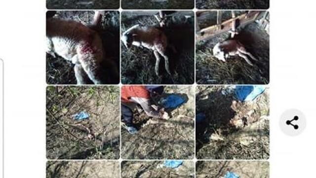 Explicaţia primarului care a batjocorit ursul ucis.