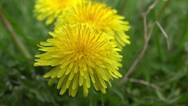 Planta care crește pe toate câmpiile și poate să vă aducă o afacere de zeci  de mii de euro. Beneficiile ascunse - Stirileprotv.ro