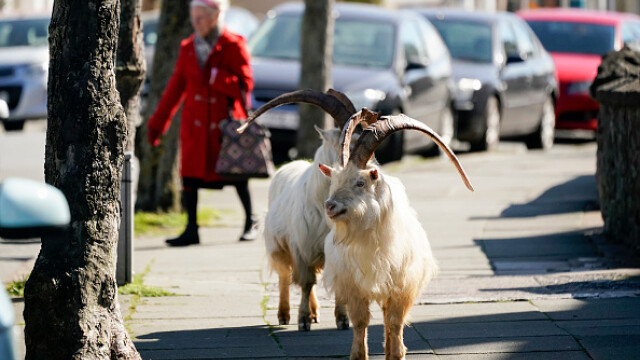 """GALERIE FOTO. Animalele umblă libere pe străzi în """"epoca"""" coronavirusului - Imaginea 9"""
