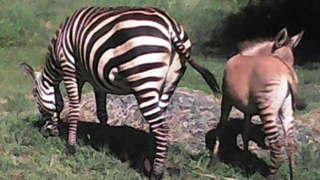 Zonkey, animalul cu mamă zebră și tată măgar. Unde s-a născut acesta