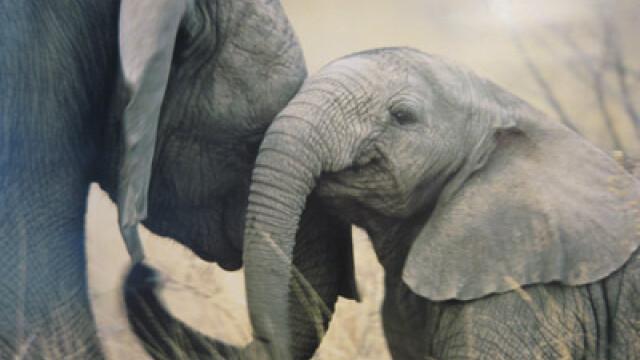 Un pui de elefant a fost salvat in India, dupa ce ramasese blocat intr-o groapa. Cum s-a desfasurat operatiunea. VIDEO