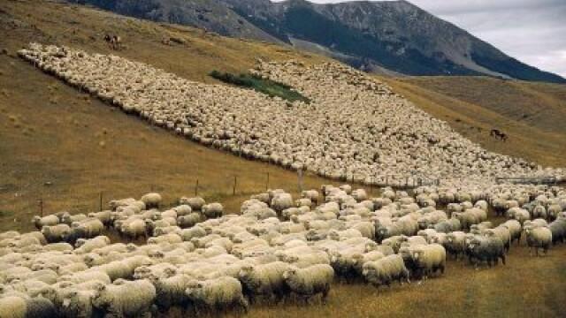 Meseria de oier ar putea deveni oficiala in Romania