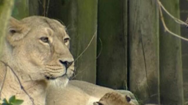 Puii de leu gasiti intr-o casa la Turnu Severin, dusi la gradina zoologica