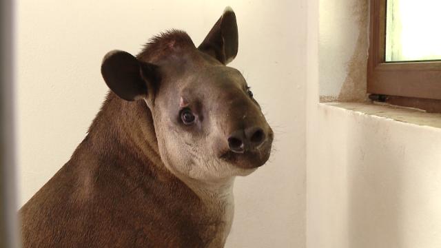 Gradina Zoologica din Timisoara are un nou membru: Otto, un tapir de 11 luni - Imaginea 1