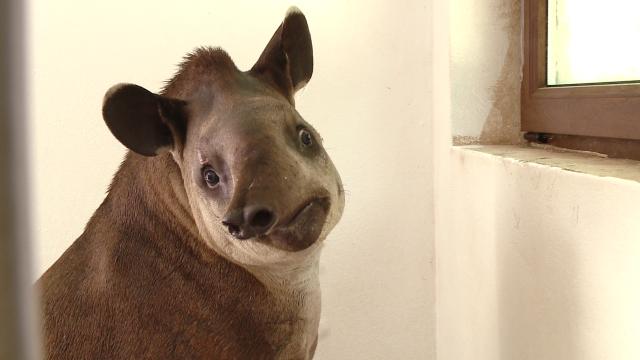 Gradina Zoologica din Timisoara are un nou membru: Otto, un tapir de 11 luni - Imaginea 2