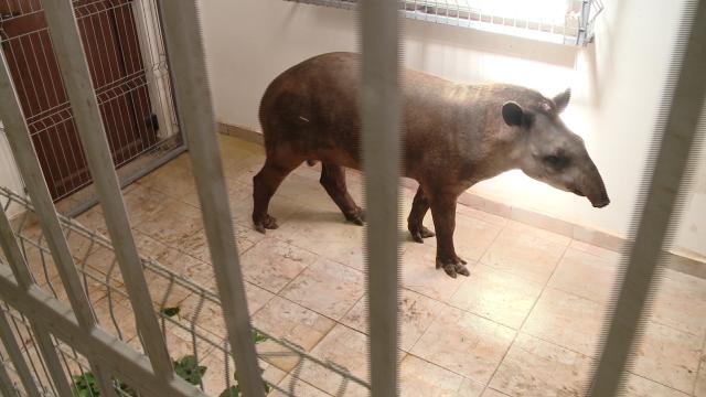 Gradina Zoologica din Timisoara are un nou membru: Otto, un tapir de 11 luni - Imaginea 4