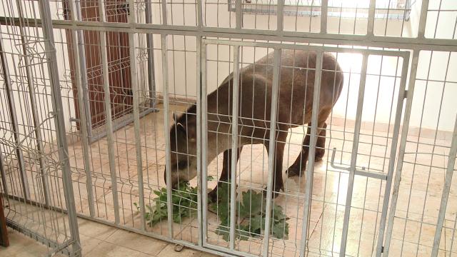Gradina Zoologica din Timisoara are un nou membru: Otto, un tapir de 11 luni - Imaginea 5
