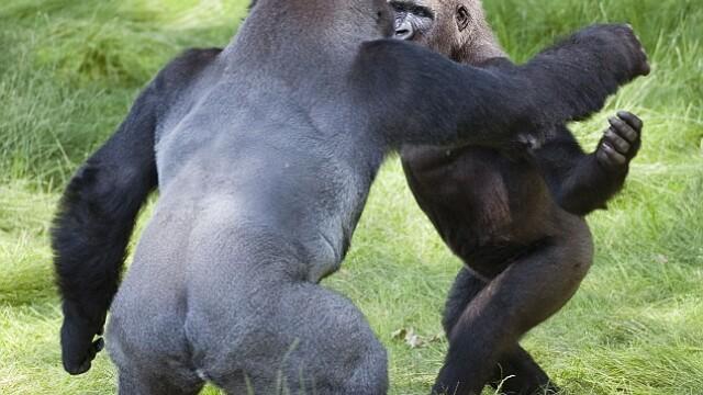 gorile se imbratiseaza