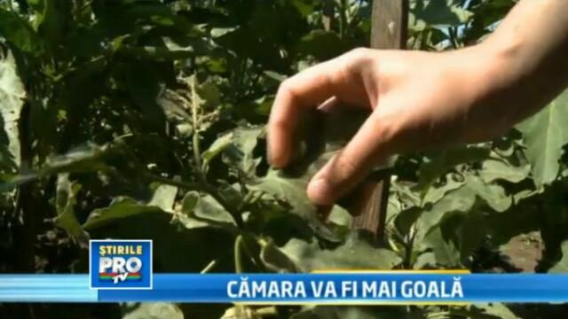 In plin sezon, legumele romanesti sunt mici si putine. La toamna e posibil sa cumparam de la bulgari
