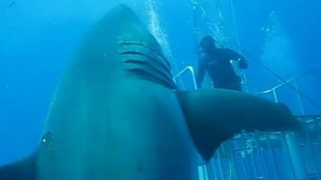 rechin alb
