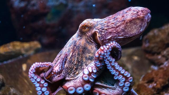 Caracatitele, primele creaturi inteligente de pe Terra. Rezultatele surprinzatoare ale unui studiu american