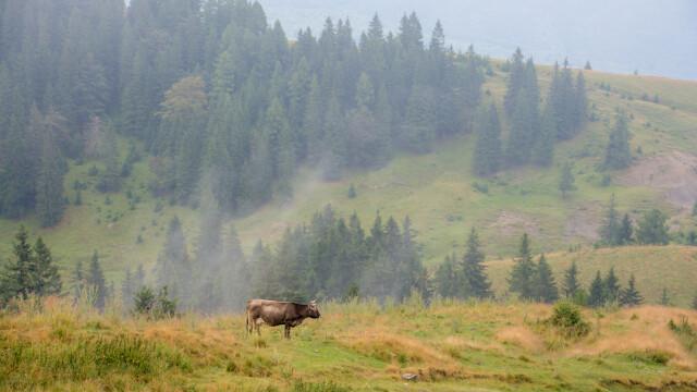 vaca, camp - Stiri