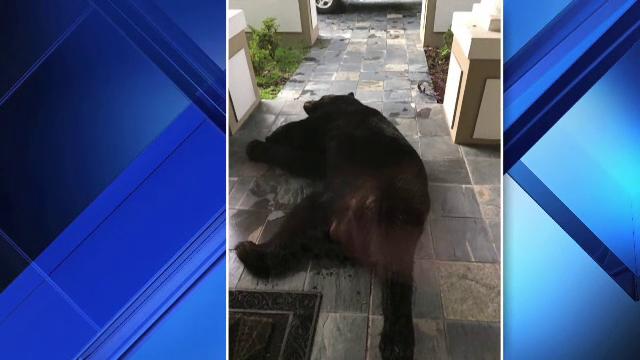 Un urs, prins de ploaie pe strazile unui oras american, a gasit adapost in curtea unei familii. Unde s-a ascuns