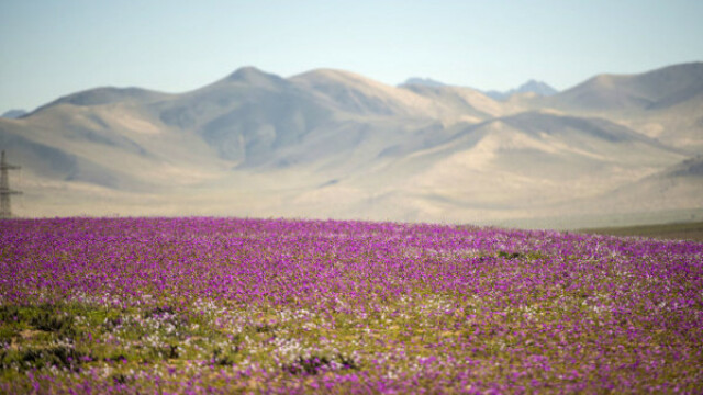 Cel mai arid deşert din lume a înflorit