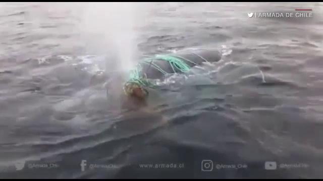 Balenă, salvată de marinarii militari după ce s-a prins într-o plasă de pescuit