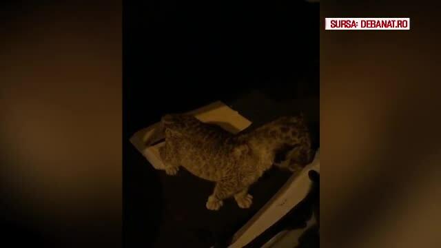 Pui de leu găsit în portbagajul unei mașini. Fusese luat de la ZOO Suceava