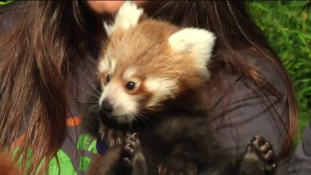 Puiul de panda roșu care face senzație la o grădină zoologică. VIDEO
