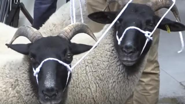 Cu oile prin centrul Londrei. Protest inedit față de un Brexit fără acord