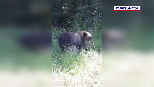 Prima localitate din România în care poți fi amendat dacă hrănești sau fotografiezi urșii.