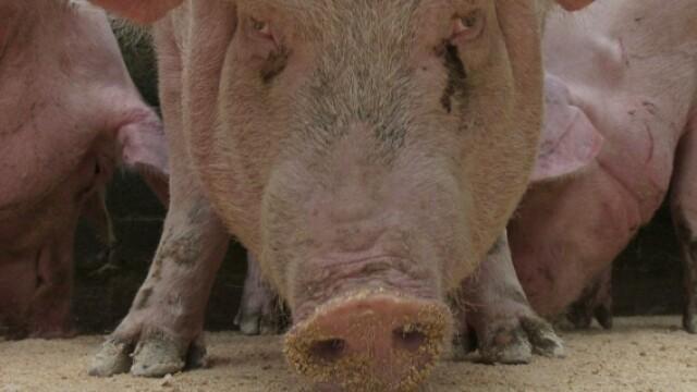 Primul caz de gripa porcina confirmat in Germania!