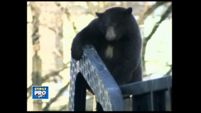 VIDEO. Animalul care a avut NOROCUL sa nu traiasca in Romania. Risca sa aiba soarta tigrului ucis