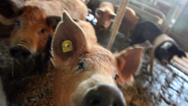porc craciun