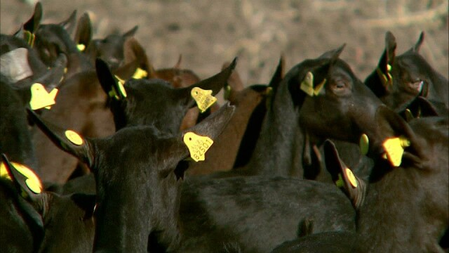 O creatura misterioasa ataca turmele din Kentucky si mutileaza animalele