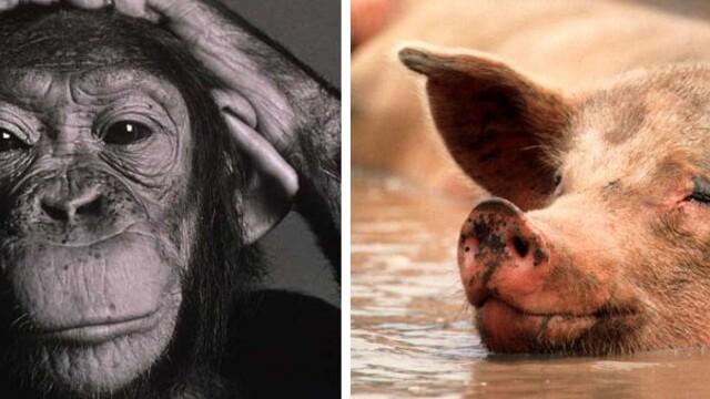 Studiu: Istoria oamenilor ar fi inceput cand o femela cimpanzeu s-a imperecheat cu un porc