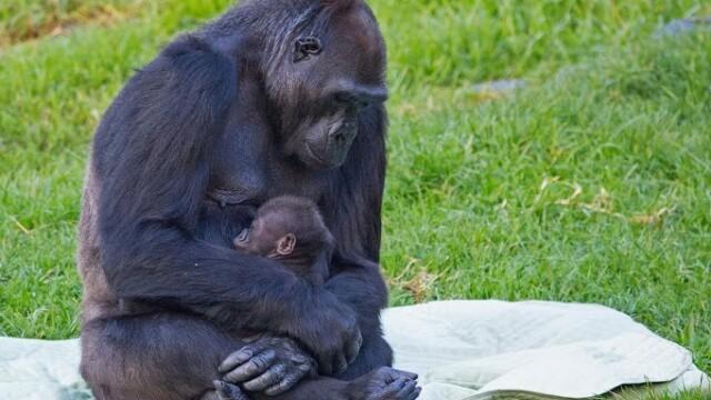 Primele imagini cu puiul de gorila nascut in captivitate la Gradina Zoologica din San Francisco - Imaginea 1