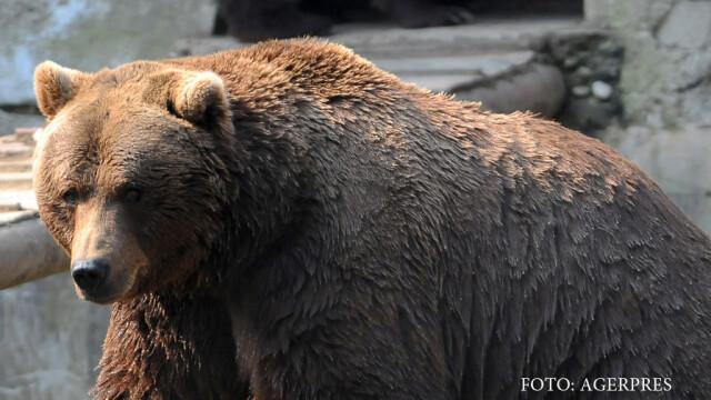 Un urs a ajuns cu trenul tocmai la Ploiesti. Solutia gasita de autoritati pentru animalul ratacit