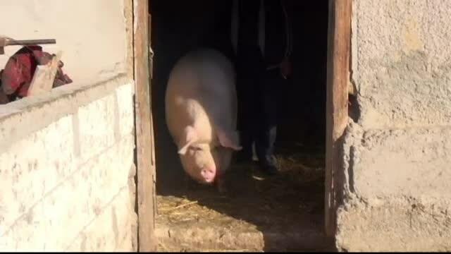 corina, porc