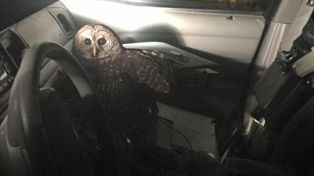 O bufnita uriasa a intrat in masina unui politist aflat in timpul serviciului. Ce a urmat este desprins din filmele de groaza