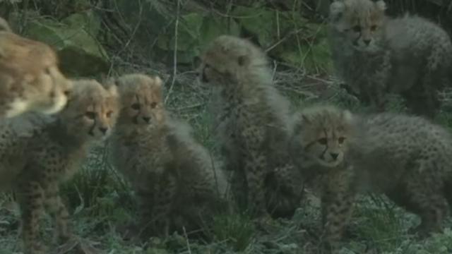 O femela ghepard a nascut 6 pui la o gradina zoologica din Olanda. Micutii au avut prima lor plimbare pe afara. VIDEO