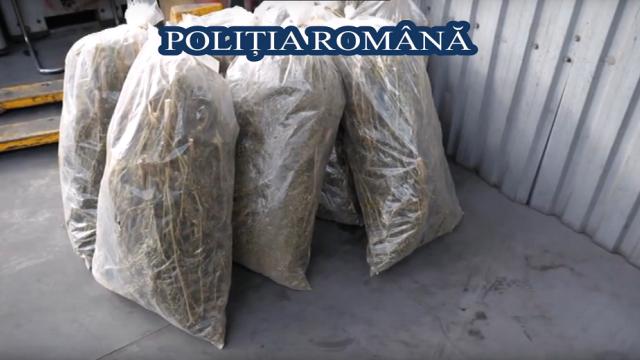 Poliţia Română a distrus peste o tonă de droguri. Captură uriaşă de frunze \
