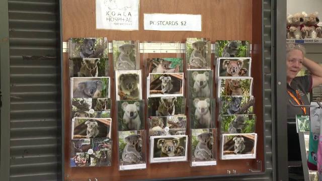 Motivul pentru care peste 69 de urși koala au fost internați de urgență în spital - Imaginea 3